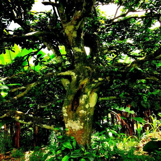 6-500年左右的古茶树,树身满是青苔.jpg